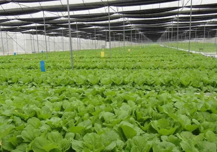 绿色蔬菜现场
